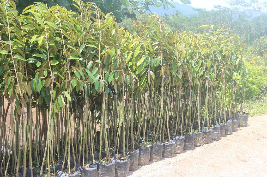 jual-bibit-durian-di-medan-jpg.