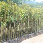bibit-durian-bawor-kaki-3.jpg