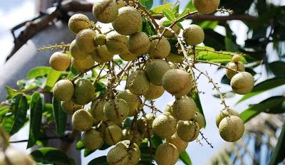 jual-bibit-kelengkeng-aroma-durian.jpg