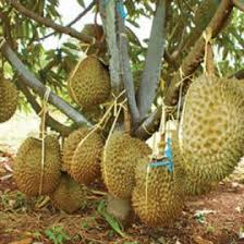 durian-montong.jpg