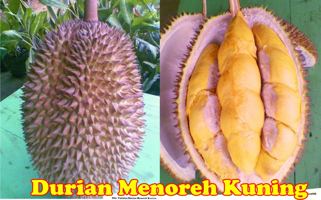 durian-menoreh-kuning.jpg