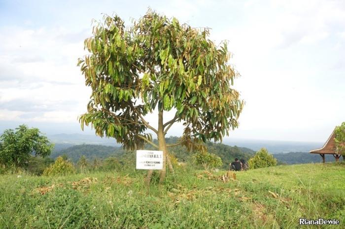 harga-jual-bibit-durian-menoreh-kuning-A.1.jpg