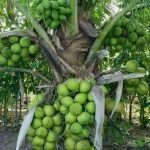 jual-bibit-kelapa-hibrida.jpg