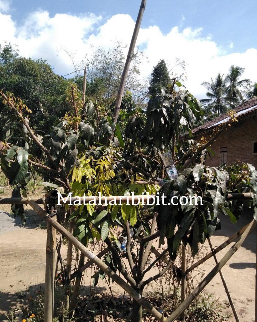 cara-agar-pohon-kelengkeng-cepat-berbuah.jpg